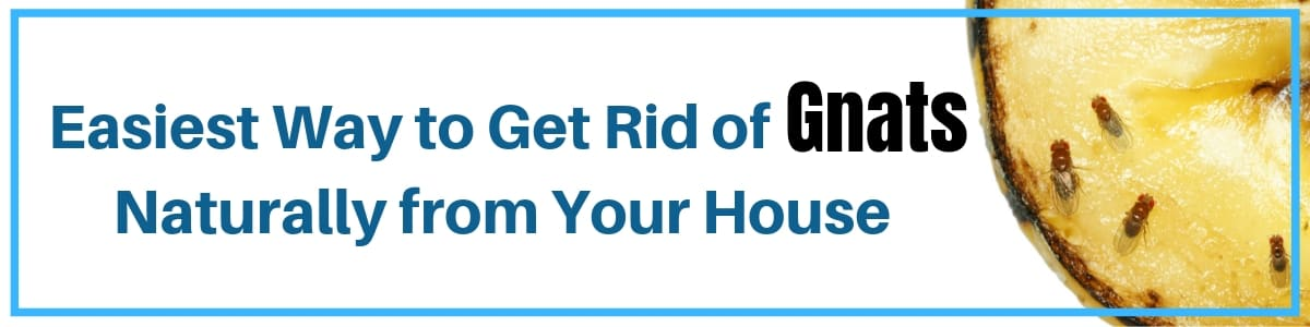 Get Rid of Gnats Naturally