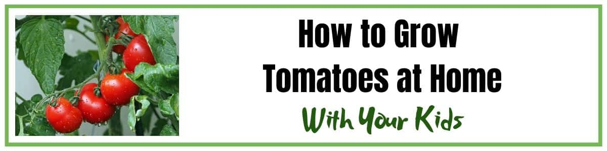 How to Grow Tomatoes at Home with Your Kids for fun and learning even if you don't have a garden